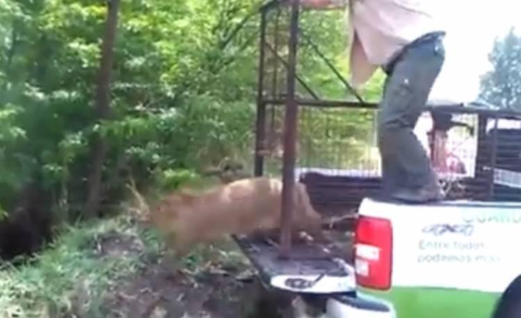 "Pehuen Co: Guardaparques capturan un carpincho en una casa y lo liberan en ""su hábitat natural"""