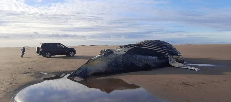 Marisol: Apareció encallado un ejemplar de ballena jorobada