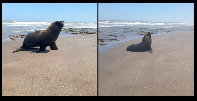 Pehuen Co: Apareció un lobo marino en las costas y se pide no acercarse