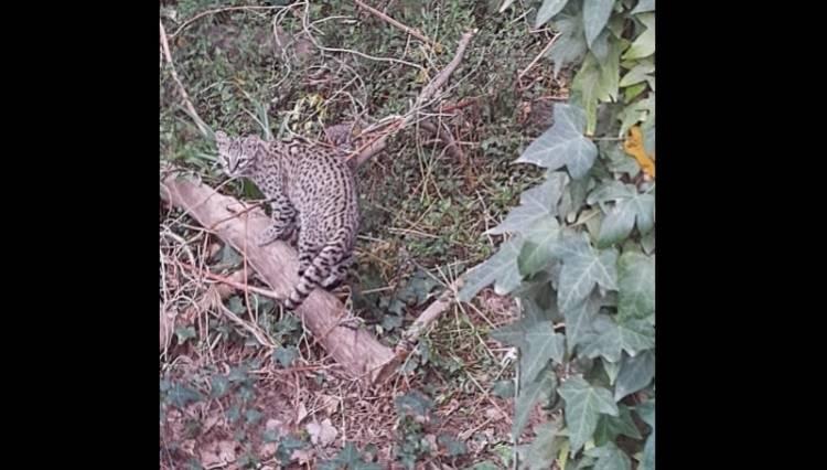 Pehuen Co: Se han producido avistamientos de Gatos Montés en distintos sectores de la localidad